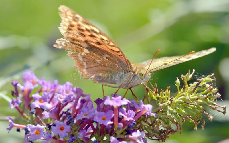 Download Papillon De Vanillae D'Agraulis Image stock - Image du durée, golfe: 45365233