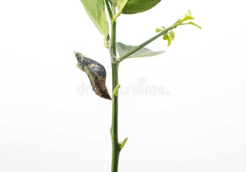 Papillon de ver photos libres de droits