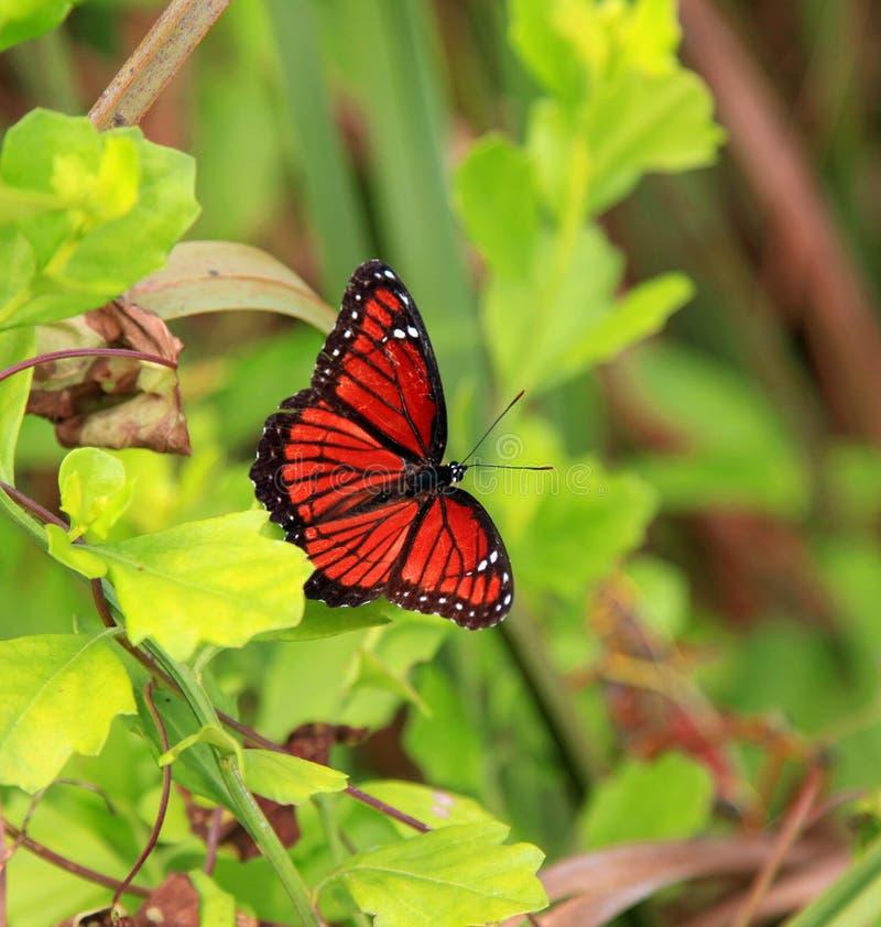 Papillon de vice-roi images libres de droits