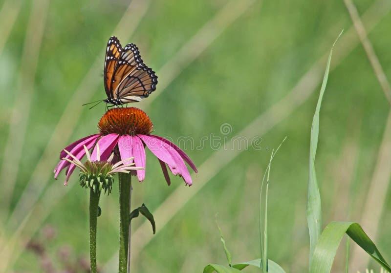 Papillon de vice-roi sur le coneflower pourpre avec l'espace de copie pour le texte image stock