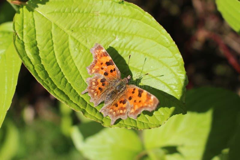 Papillon de virgule photo stock