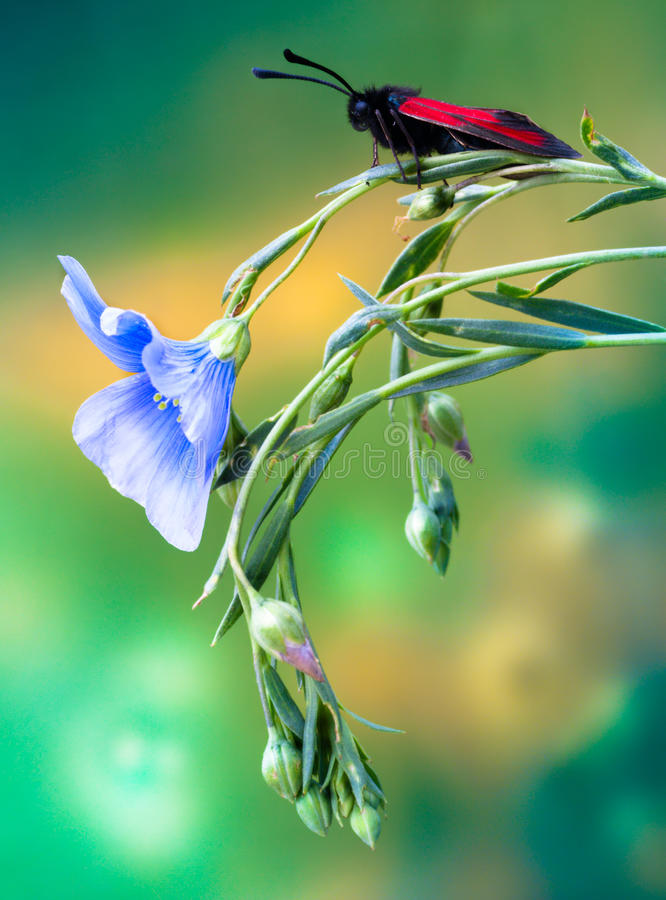 Papillon de Zygaenidae sur une fleur photo stock