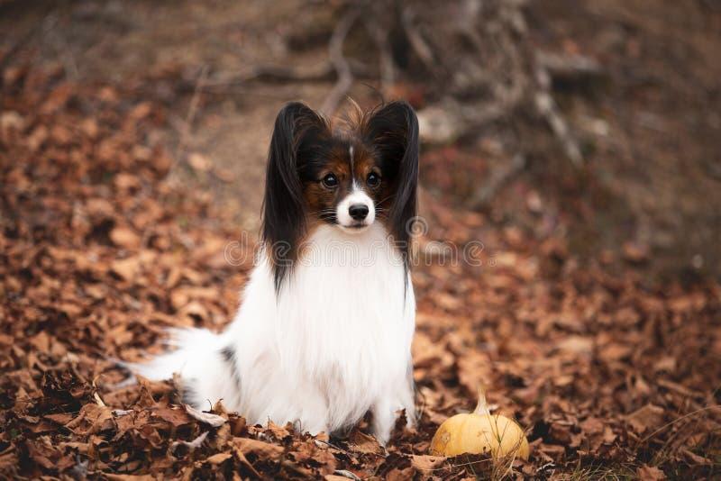 Papillon di razza canina, in autunno, sulle foglie cadenti nella foresta immagini stock