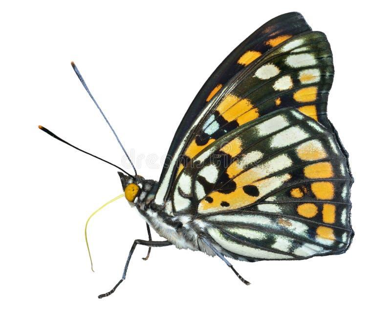 Papillon (dichroa de Sephisa) 25 image stock