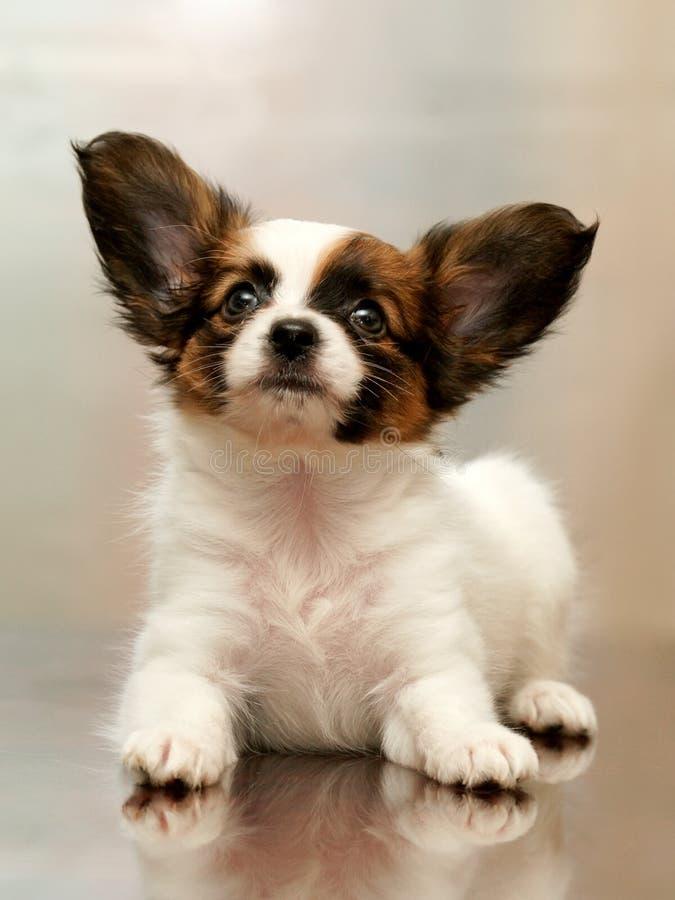 Papillon do filhote de cachorro fotos de stock royalty free