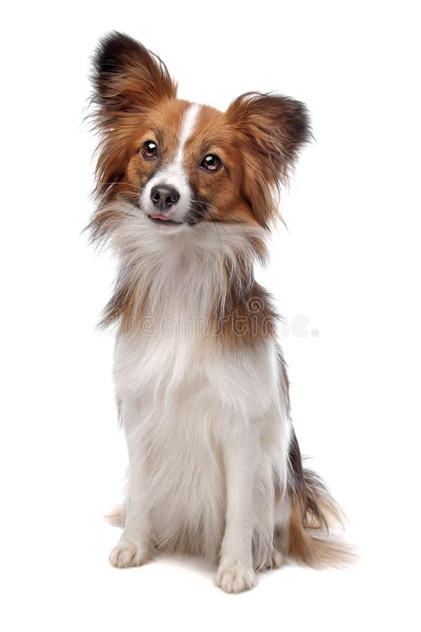 Papillon dog royalty free stock image