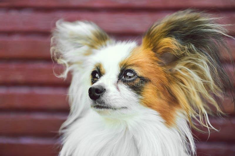 Papillon Dog stock photos