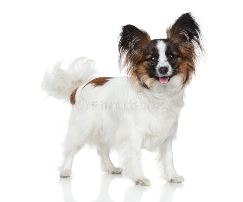 Papillon dog (Continental Toy Spaniel) stock photos