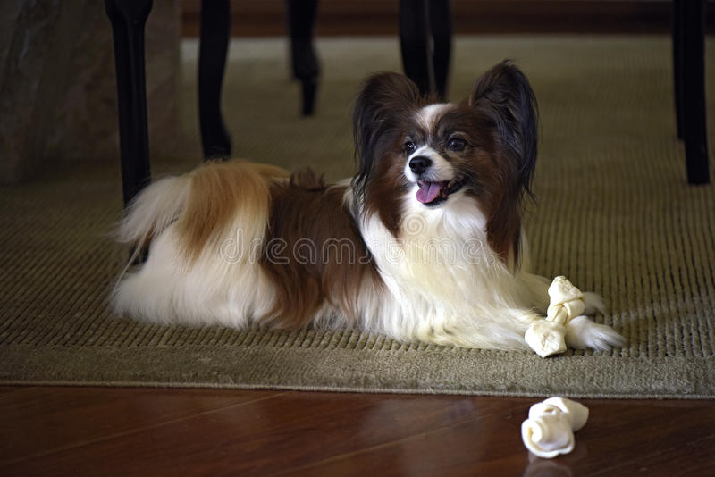 Papillon dog playing with his bone. Papillon or continental toy spaniel is a very intelligent and self-assured dog developed in France of the seventeenth century royalty free stock photos