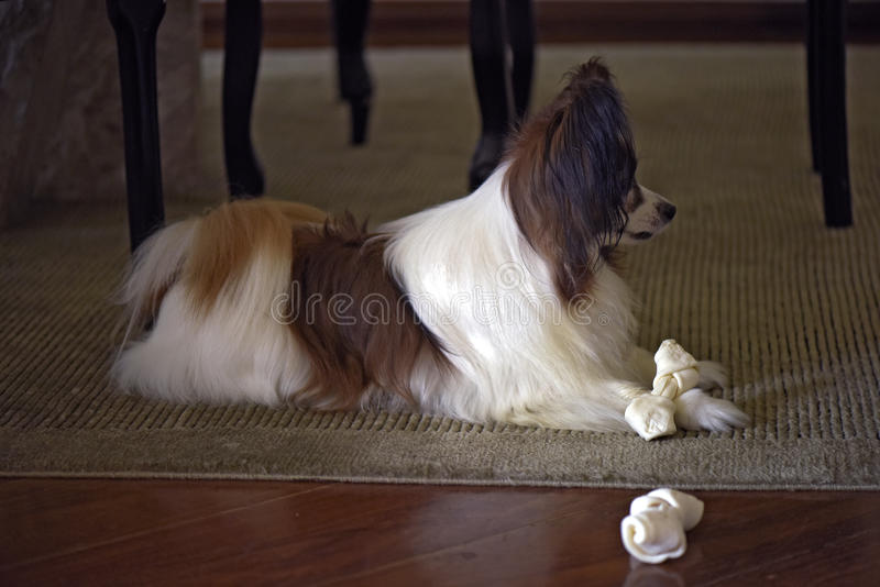 Papillon dog playing with his bone. Papillon or continental toy spaniel is a very intelligent and self-assured dog developed in France of the seventeenth century royalty free stock photo
