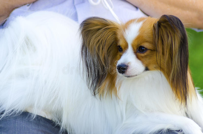 Must see Papillon Canine Adorable Dog - papillon-dog-small-white-red-aka-continental-toy-spaniel-sitting-its-owner-s-laps-looking-very-friendly-beautiful-34413429  Gallery_195652  .jpg