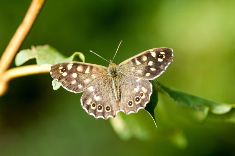 Papillon en bois tacheté de portrait d'insecte image stock