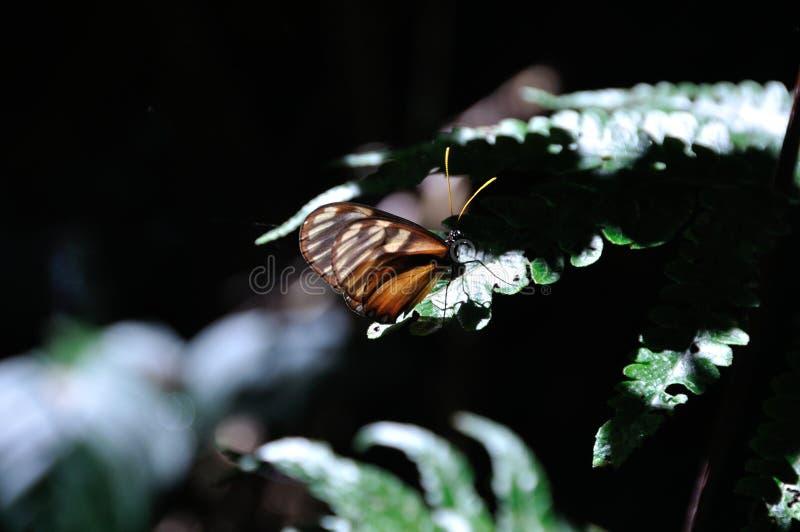 Papillon en Costa Rica images libres de droits