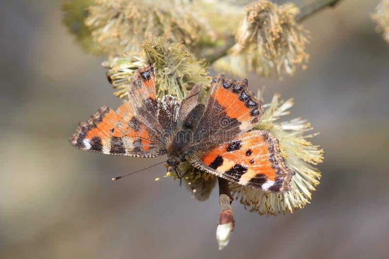 Papillon endommagé photographie stock