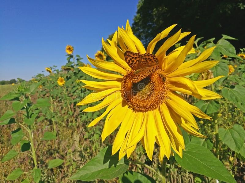 Papillon et abeille sur un tournesol photographie stock
