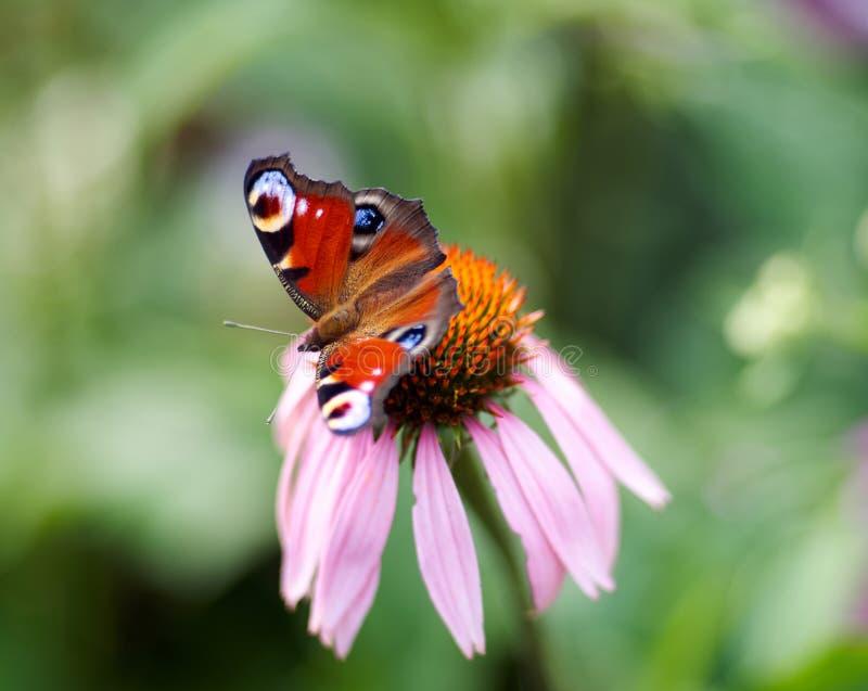 Papillon et x28 ; Atalanta de Vanessa et x29 ; alimentation sur la fleur et le x28 ; Purpurea d'Echinacea et x29 ; photographie stock