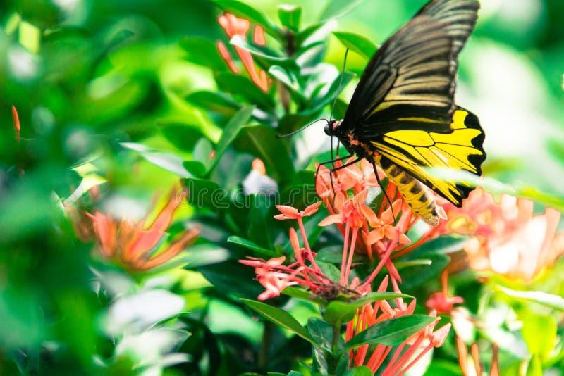 Papillon et fleurs rouges en parc de la Thaïlande photos libres de droits