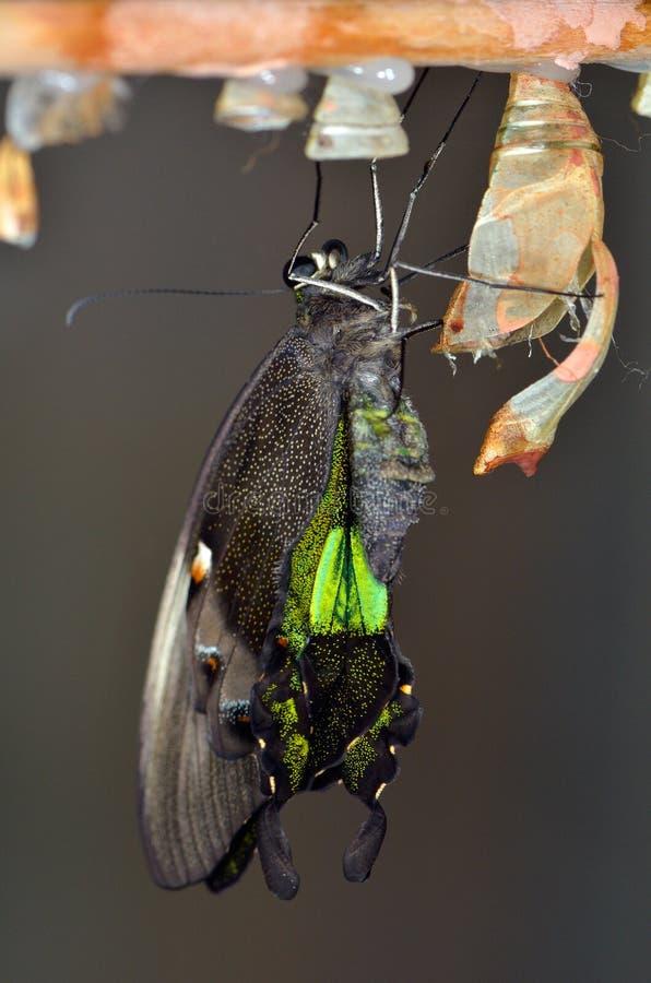 Papillon exotique images libres de droits
