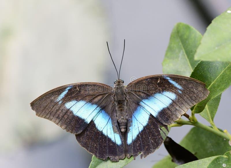 Papillon exotique image stock