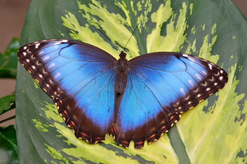Papillon exotique dans l'habitat naturel images libres de droits