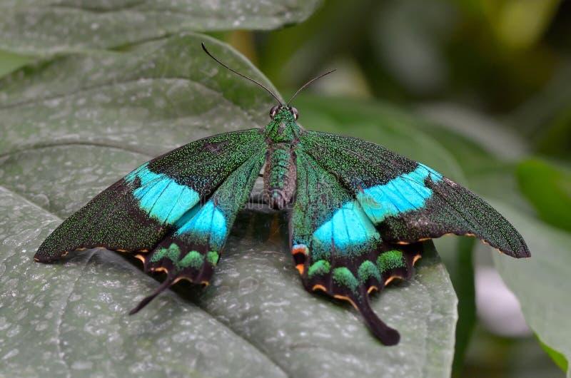 Papillon exotique dans l'habitat naturel photo libre de droits