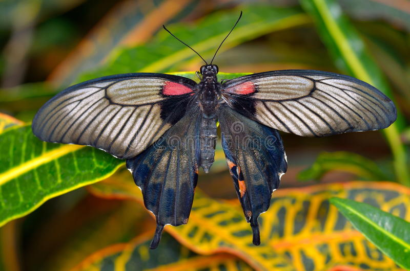 Papillon exotique dans l'habitat naturel photo stock