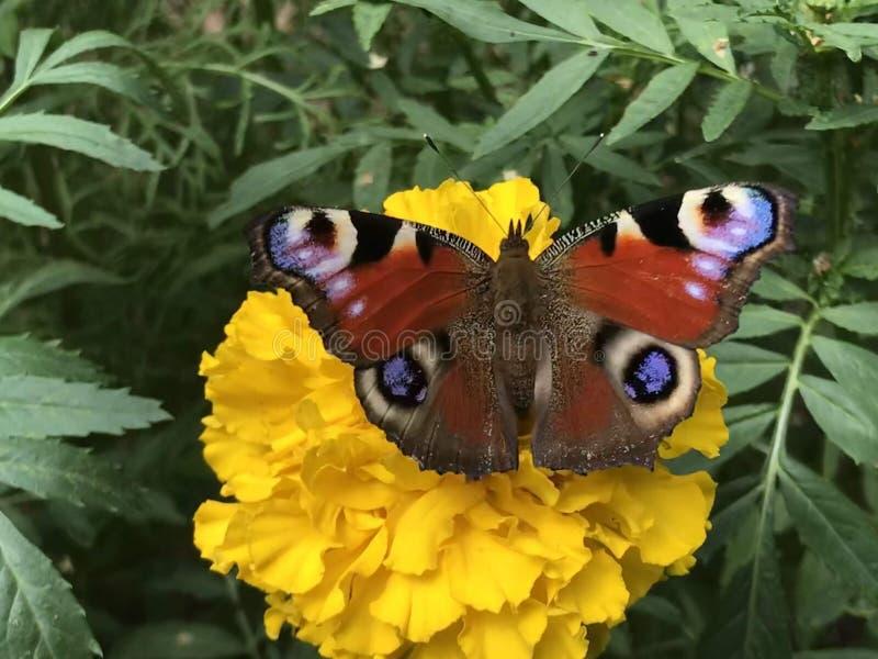 Papillon fascinant sur la fleur jaune photos stock