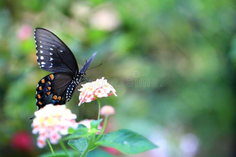 Papillon foncé de machaon dans un jardin photo stock
