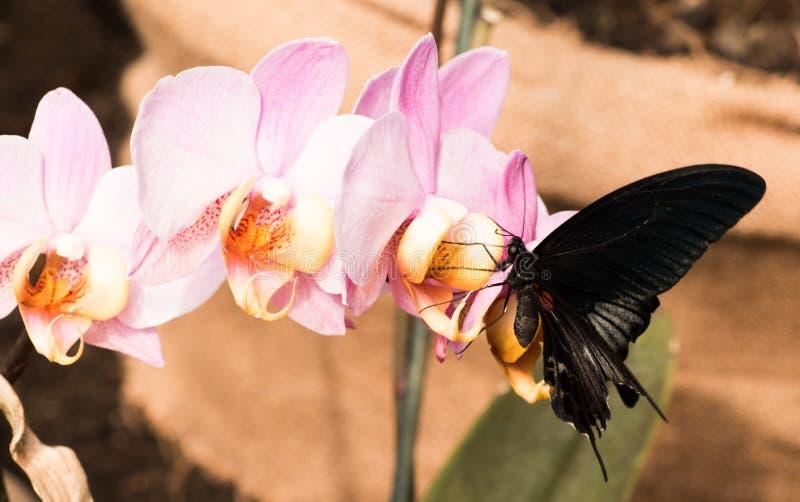 Papillon foncé sur la fleur d'orchidée photographie stock libre de droits