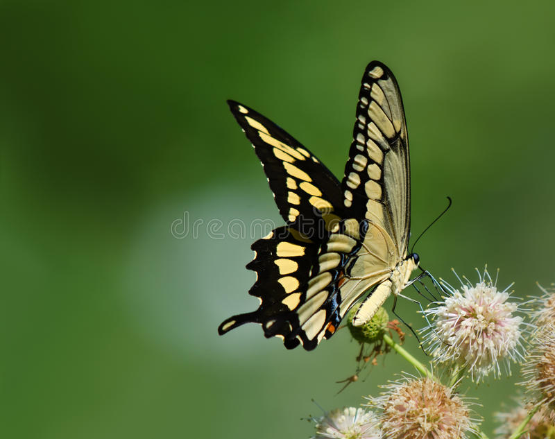 Papillon géant de machaon (cresphontes de Papilio) images stock