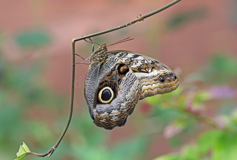 Papillon g?ant de hibou photographie stock