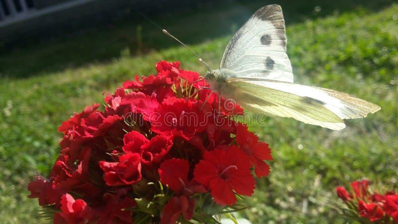 Papillon goûtant le nectare photos libres de droits