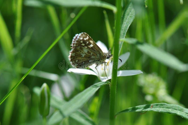 Papillon grisonnant de capitaine photographie stock libre de droits