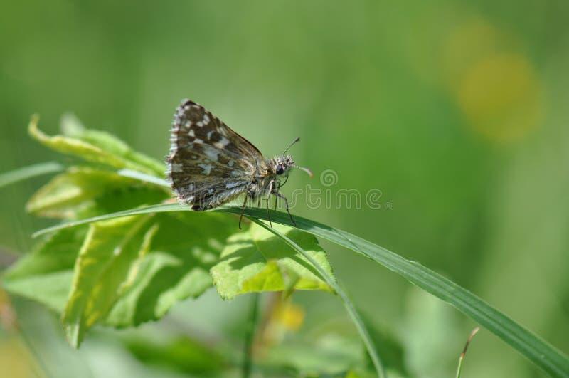 Papillon grisonnant de capitaine images stock