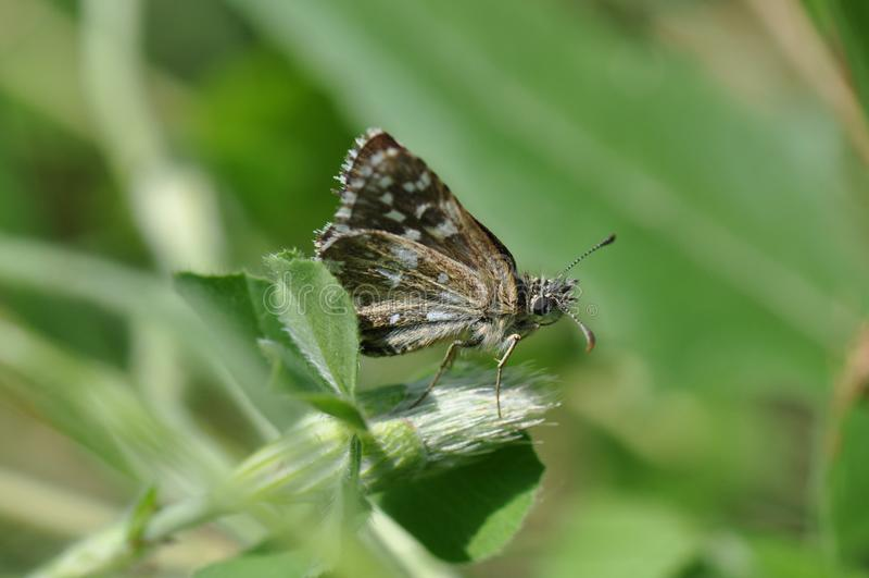 Papillon grisonnant de capitaine photos stock