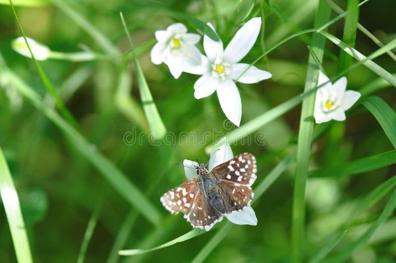 Papillon grisonnant de capitaine image stock