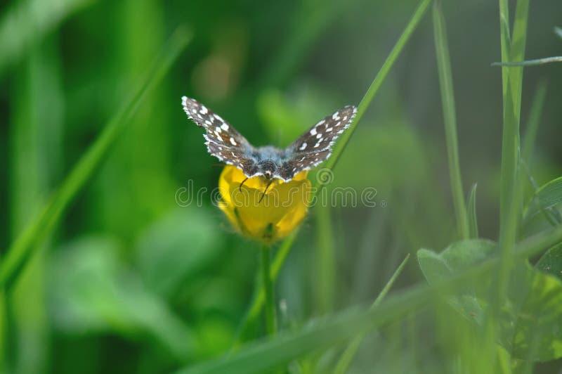 Papillon grisonnant de capitaine photos libres de droits