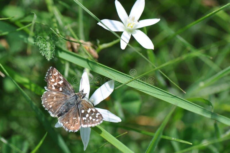 Papillon grisonnant de capitaine photo stock