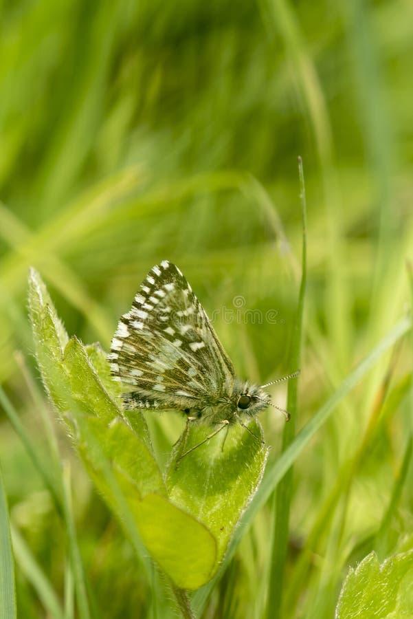 Papillon grisonnant de capitaine, malvae de Pyrgus, se reposant sur une feuille de trèfle photographie stock libre de droits