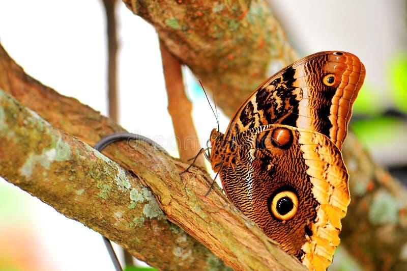Papillon, hibou (dessous) images stock