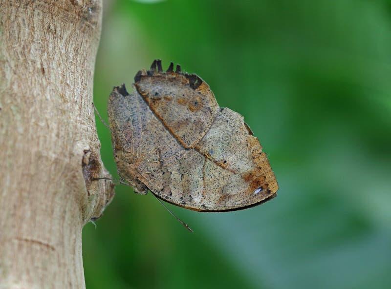 Papillon indien de feuille images libres de droits