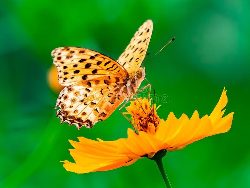 Papillon indien de fritillaire sur une fleur 16 de cosmos photographie stock