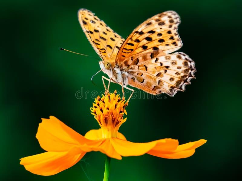 Papillon indien de fritillaire sur une fleur 18 de cosmos photo libre de droits