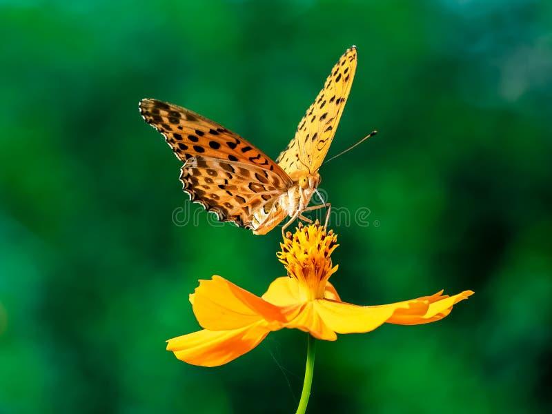 Papillon indien de fritillaire sur une fleur 25 de cosmos photographie stock libre de droits