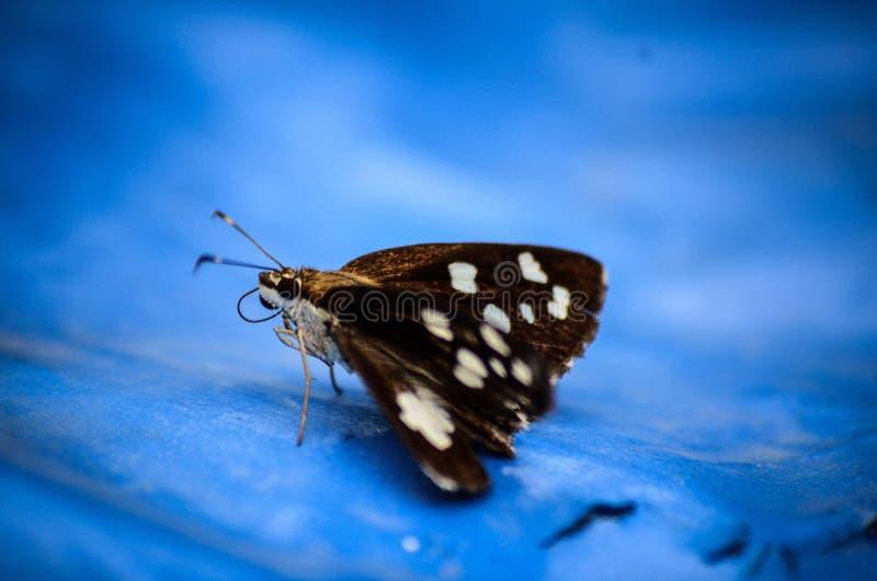 Papillon indien de lépidoptères photo stock