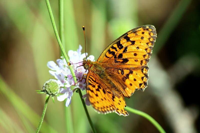 papillon jaune photos libres de droits
