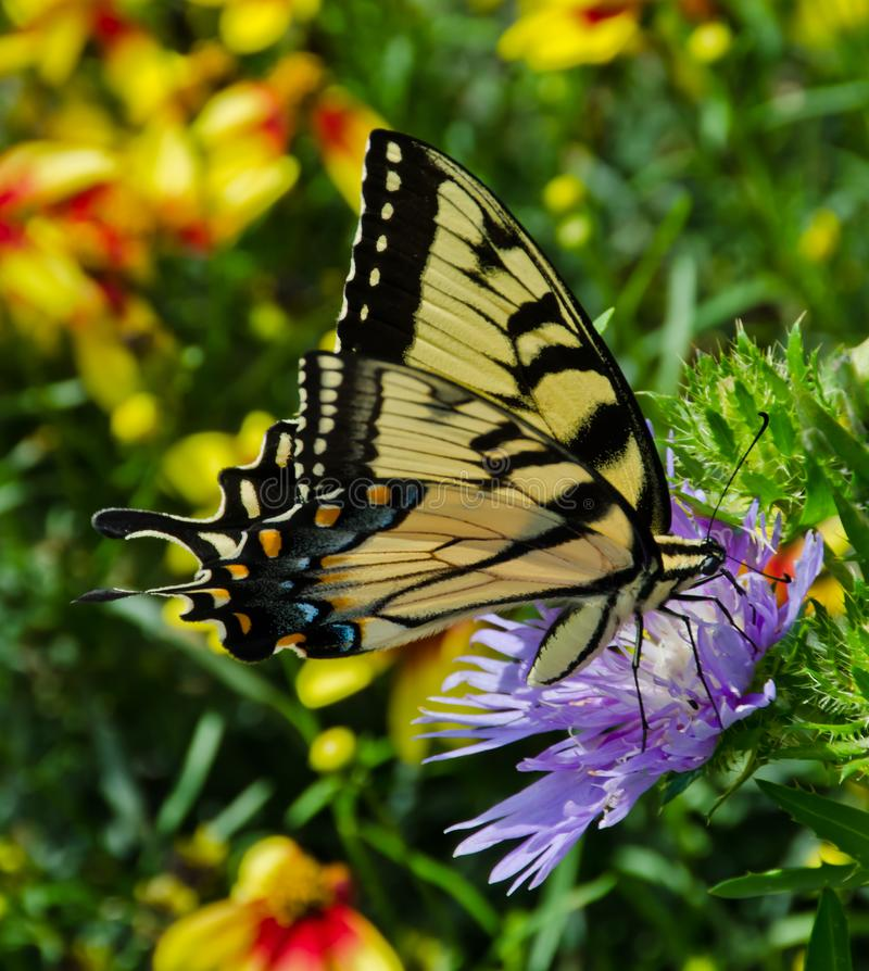 Papillon jaune de machaon sur une fleur pourpre d'aster photo stock