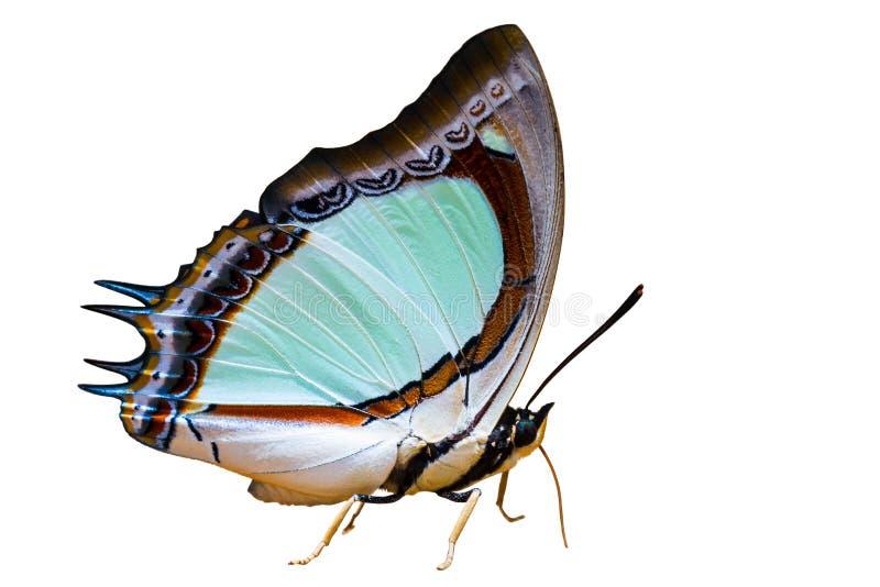 Papillon jaune indien de nawab d'isolement sur le blanc image stock