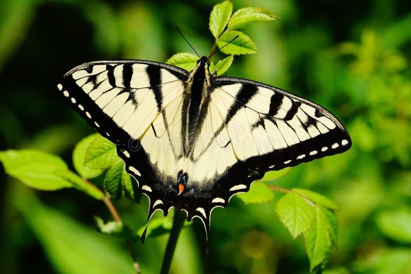 Papillon jaune oriental de machaon de tigre photographie stock libre de droits
