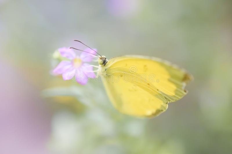 Papillon jaune se tenant sur une fleur rose photo libre de droits
